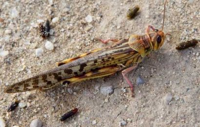 What are locusts? And why are they such a big menace?