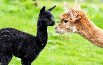 Ultra-rare black alpaca born in Scotland – and its fur could be worth THOUSANDS