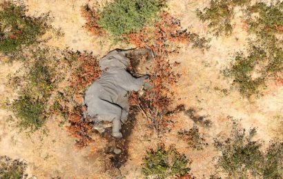 Mystery over 'mass poisoning' of hundreds of elephants in Botswana solved as scientists reveal bacteria is to blame