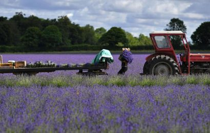 Lavender sales are soaring due to Covid-19. Here's why
