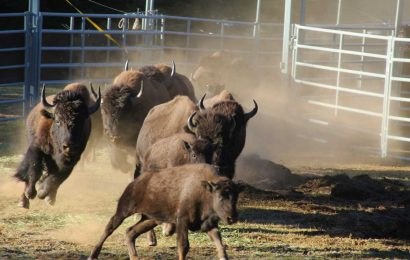 Grand Canyon NP seeks 'skilled' hunters to reduce bison population inside the park