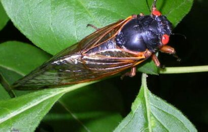 Brood X cicadas threatened by 'death-zombie fungus' that rots half their bodies away