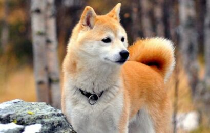 Dogecoin: What is Shiba Inu coin? Everything to know about the DOGE rival