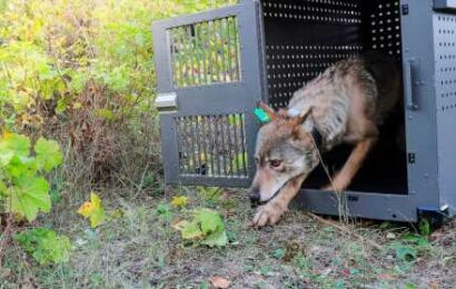 New wolf killing laws prompt push to revive protections