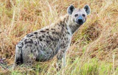 Hyenas, considered 'villains of the world,' play key role in returning nutrients to desert soil